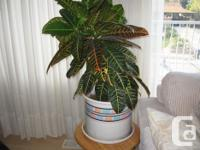 Downsizing and moving. Plant is very green and