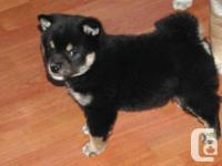 Cute and adorable shiba inu puppies, Home trained and