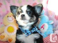 Cute and playful purebred chihuahua puppies for sale.