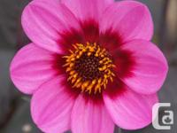 'Happy' series Dahlias in, Deep Pink, Red/Yellow,