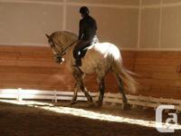 Big beautiful 17.3hh Percheron x 1/4 horse gelding (3/4