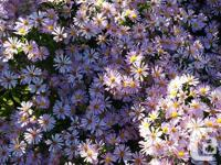 Aster is bright and showy from September into October