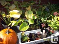 FOR SALE: Potted PERENNIALS that need a NEW HOME so