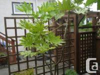 Elegant shade-loving evergreen shrub with large,
