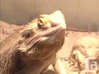 Roughly 2 feet long female Bearded Dragon very tame and
