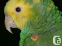 FEMALE DOUBLE YELLOW HEAD AMAZON for SALE tame &