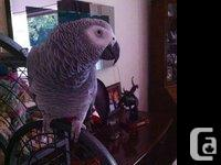 Female African Grey parrot, 15 months aged and talks &