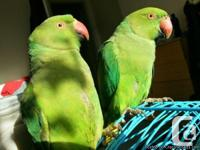 Female and male parrots one is 8 months and also one is