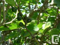 2 years old fig tree for sale produce green fig in
