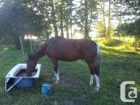 This gelding is green broke and ready for hours!! Give