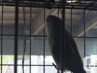 I currently have 6 fledgling lovebirds for sale for