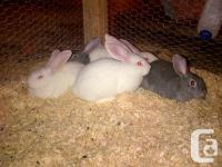 The Giant of Rabbits! Flemish Giants are a versatile,