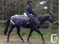 10 year old, dark bay appendix mare for lease, not