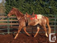 Beautiful 20 year Appaloosa available for part lease.
