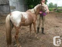 3 Cute pony prospects...Sven, 4 year old, 13 hand
