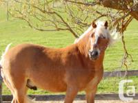 For Sale (or Trade) in Kinkora, PEI: Marco is a 14.1hh