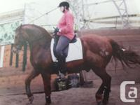 "For Sale ""Shamus"" 14 year old 1/2 Canadian Chestnut"