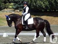 Handsome, solid black, gelding. 16hh Percheron/Paint,