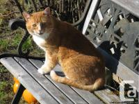 Very nice barn cat Male, cute and friendly. His name is