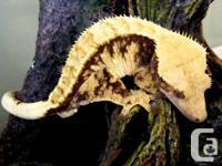 We reproduce premium geckos that make ideal reptile