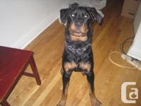i am selling my 6 month old german rottweiler. he loves