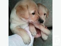 Looking for good homes. Golden Retriever and Labrador