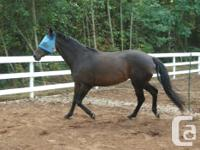Beautiful 10 yr old, 15'3 h, Warmblood Mare !!