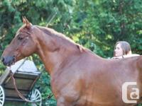 Tonka is a 15 yr old Blegium cross gelding. Tonka has