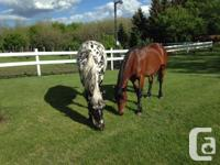 Beautiful and friendly Haflinger/standardbred mare. 7-9