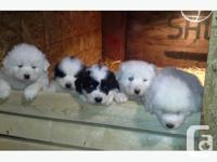 Guardian pups. 3/4 great pyrenese, 1/4 maremma. Both