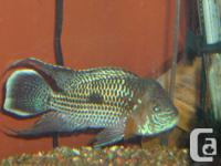 Green Terror Fish. Approximately 6-7 inches in size and