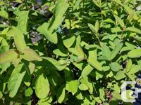 1 Gallon Haskap Berry Bushes just $12. Haskap has long