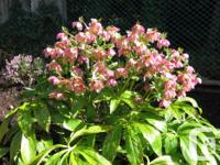 PINK HELLEBORES, ONE YEAR OLD PLANTS, PERENNIAL, BLOOM