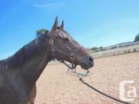Handsome, well schooled thoroughbred gelding, 13 years