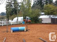 15.1hh 7 year old QH gelding, experienced adult riders