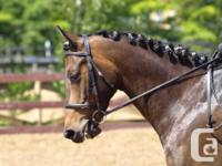 9 y/o thoroughbred/percheron x gelding available for