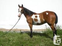 12-year-old paint gelding standing 14.1, was purchase
