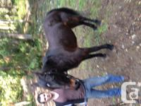 Molly is a black standardbred mare, 16.1 hands, She has