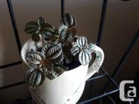 Friendship plant or bronze pilea. Healthy and thriving