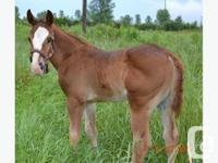 Rose is a Stunning 1/2 Paint, 1/2 Quarter Horse,