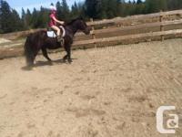 Blackberry aka Brody, is a Welsh Hackney gelding,