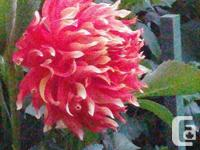 Potted Dahlia plants & Raspberry plants For Sale These