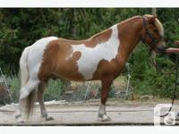 Rafall is a handsome red and white pinto. He is five