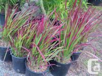 Japanese Blood grass , 2 gallon size 12.95 Japanese