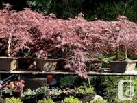 Weeping Japanese red Maple Bonsai, nice shapes and good
