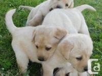 Labrador puppies ready now 4boys and 4girl they all