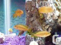 Selling Various African Cichlids. Blue Johanni, Yellow