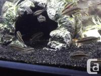 Baby Kribensis Cichlids $3 A Fish or 6 for $15. 1 Inch
