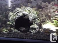 Baby Kribensis Cichlids $3 for 1 or $15 for 6. 1 Inch