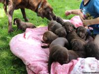 10 pure bred chocolate lab young puppies. 6 males/4